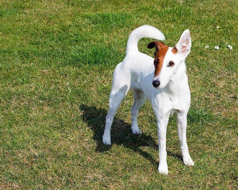 white-fox-terrier-768x612