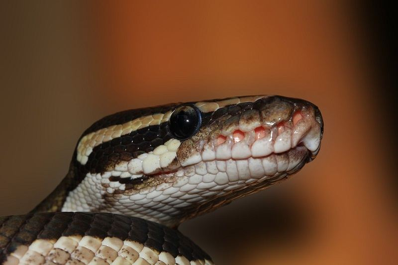 10Ball Python