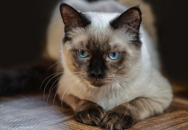 12Ragdoll Cat