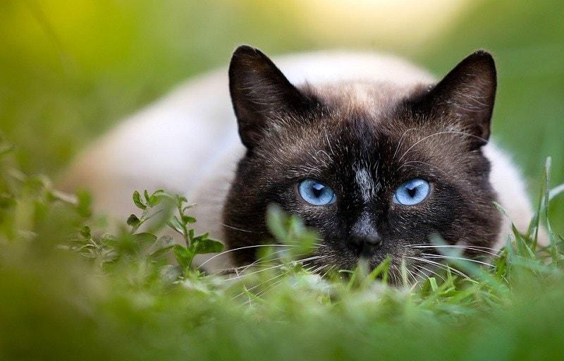 15Siamese Cat