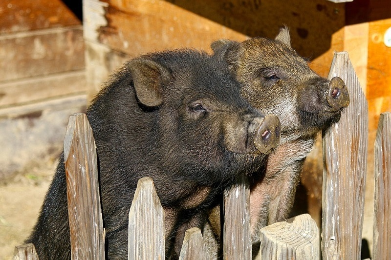 16Potbellied Pig