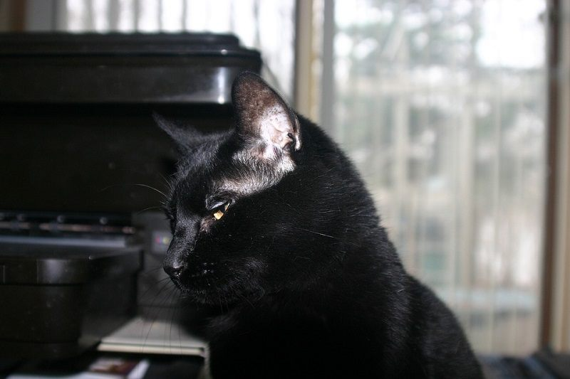 18Bombay Cat