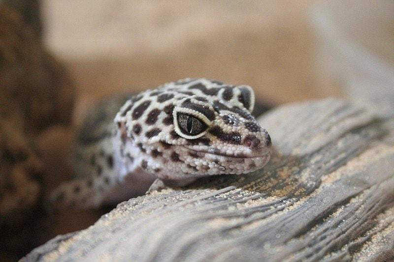 8Leopard Gecko