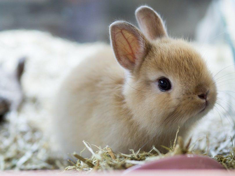 Brown Netherland dwarf rabbit_RATT_ANARACH_Shutterstock