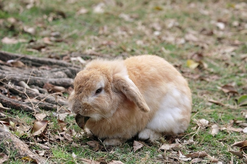 English Lop_topimages_shutterstock