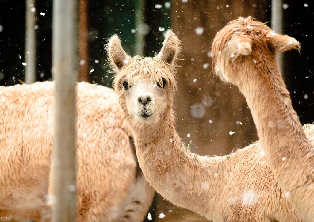 alpacss in the sniw