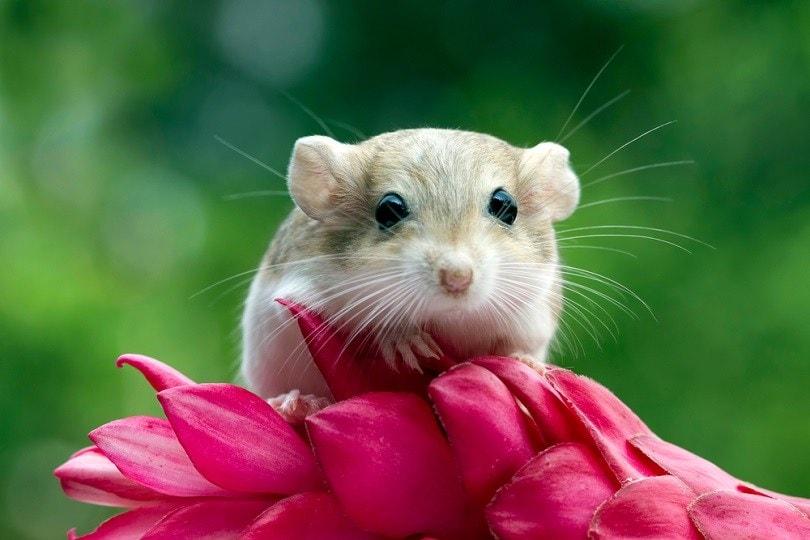 gerbil mouse_Kurit afshen_shutterstock