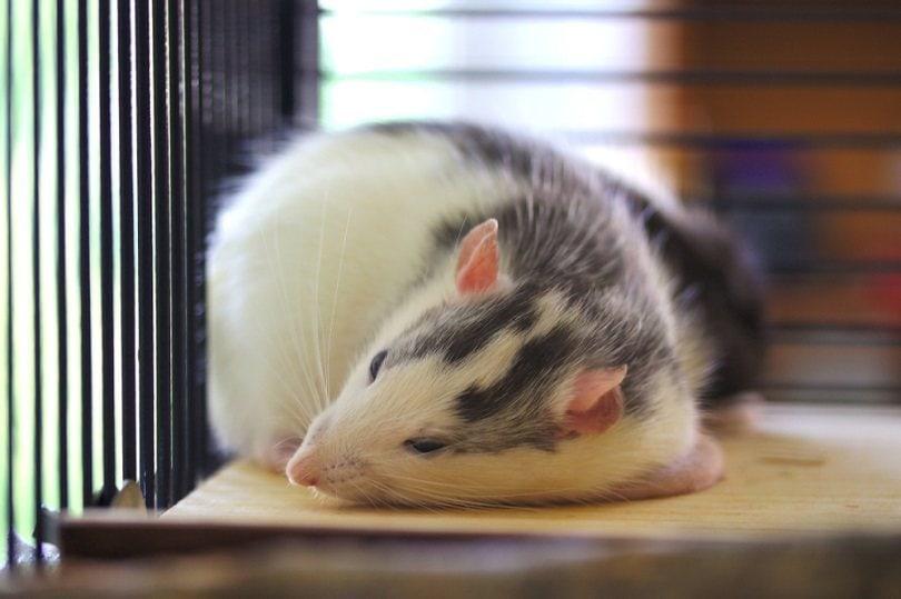 husky rat relaxing_Lauredin_shutterstock