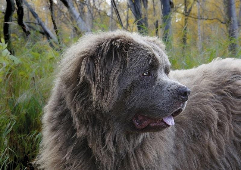 newfoundland dog