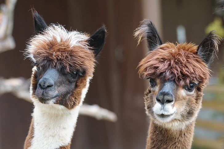 two brown llamas