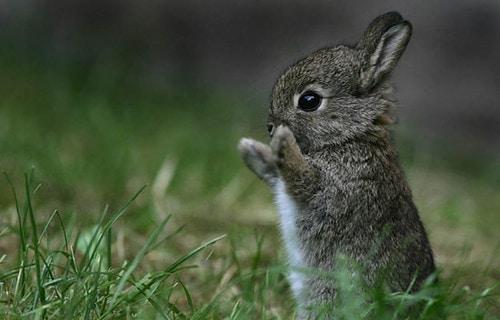 baby cottontail wild rabbit