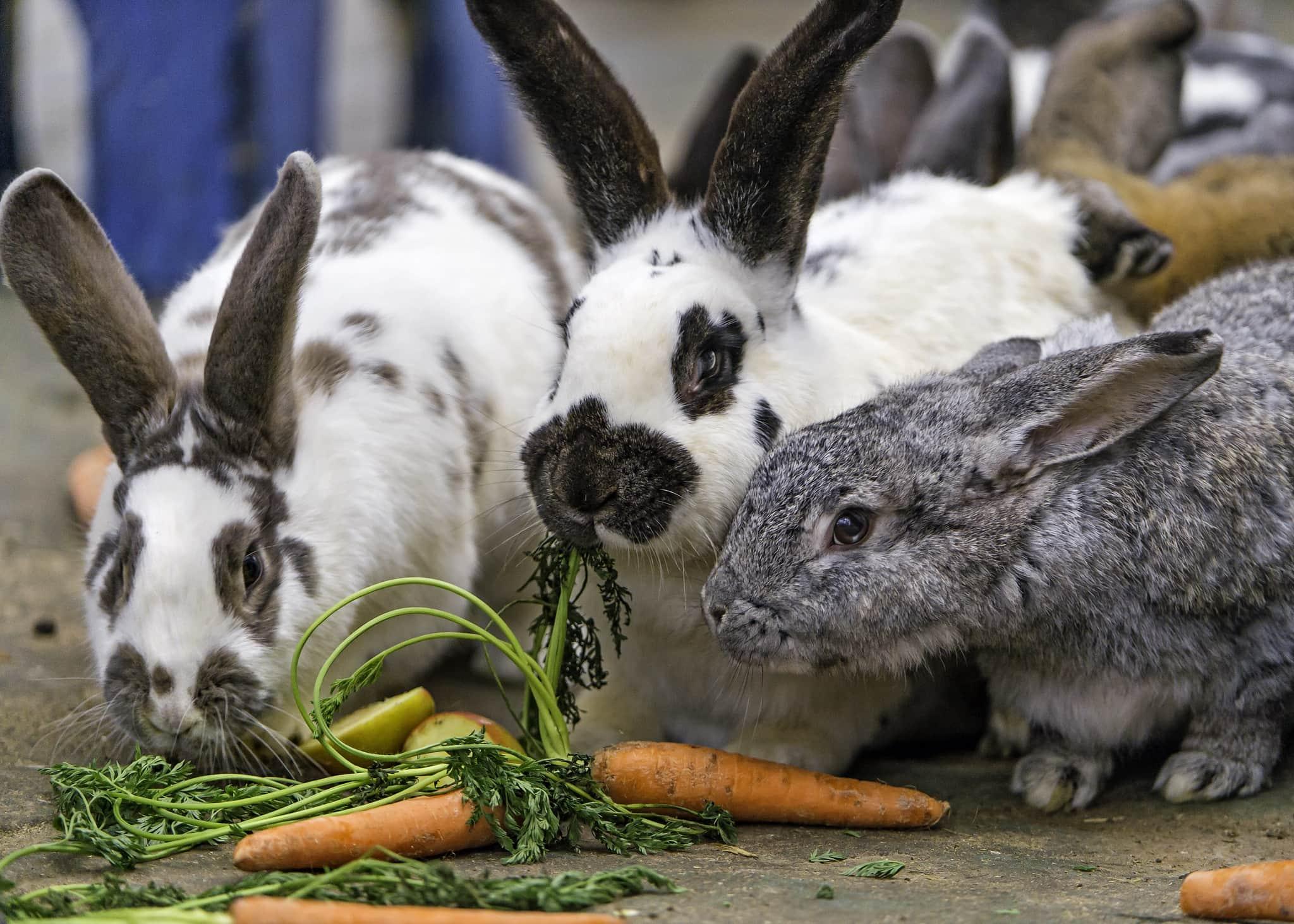 rabbits eating carrots