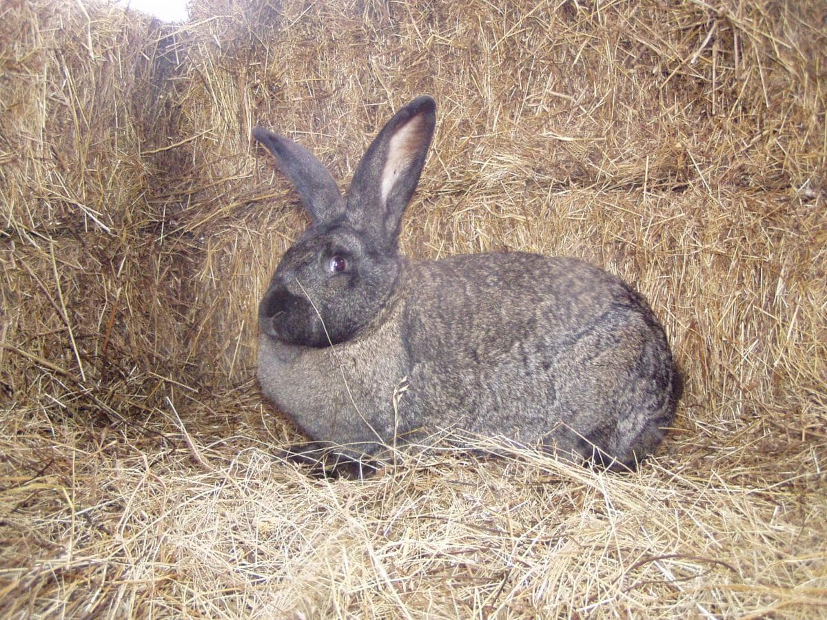Hungarian Giant Rabbit