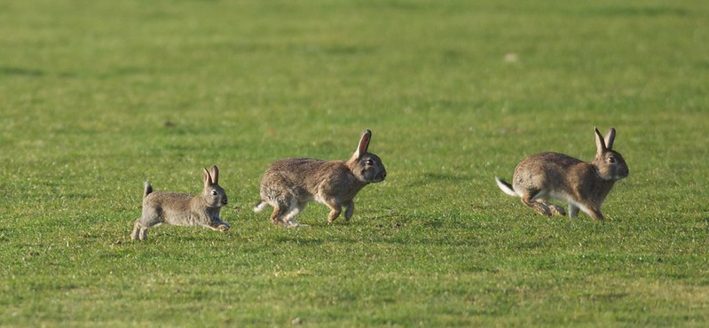 Rabbits running