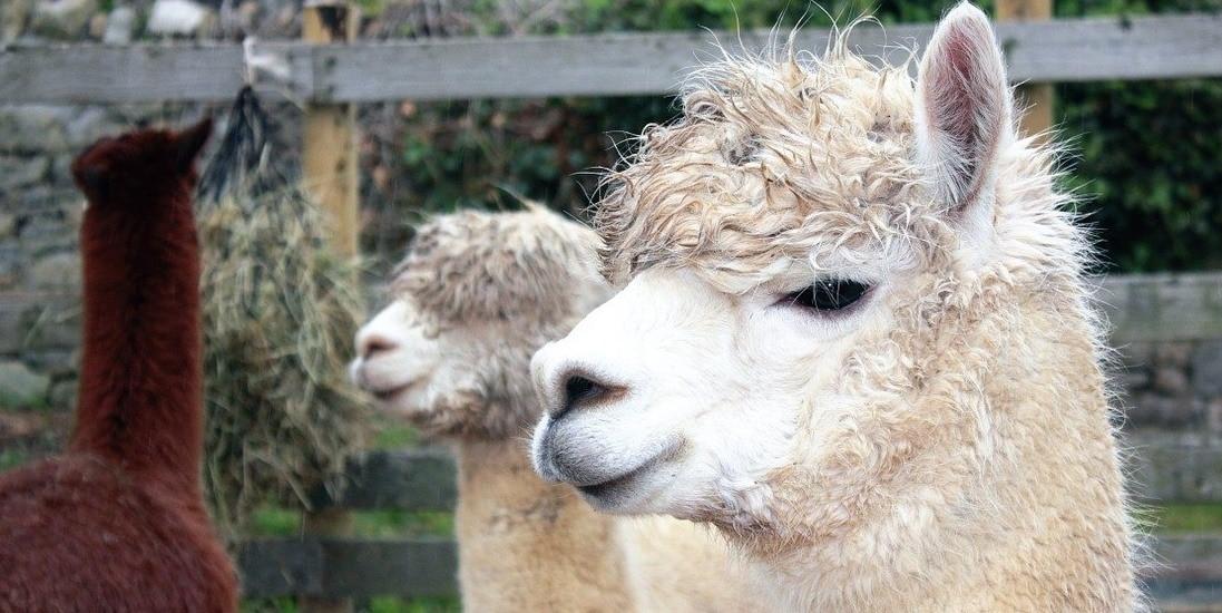 A llama and alpaca