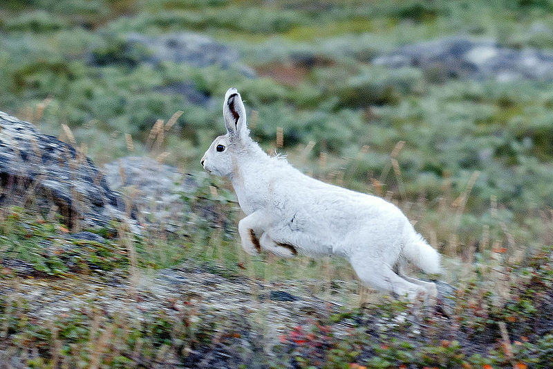 Artic Hare Jumps