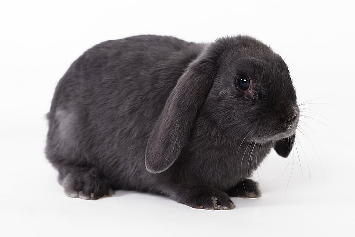 Black English Lop