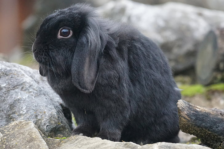 Black Holland Lop