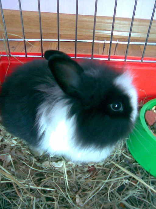 Black Satin Angora Rabbit