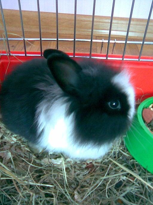Black Satin Angora Rabbit