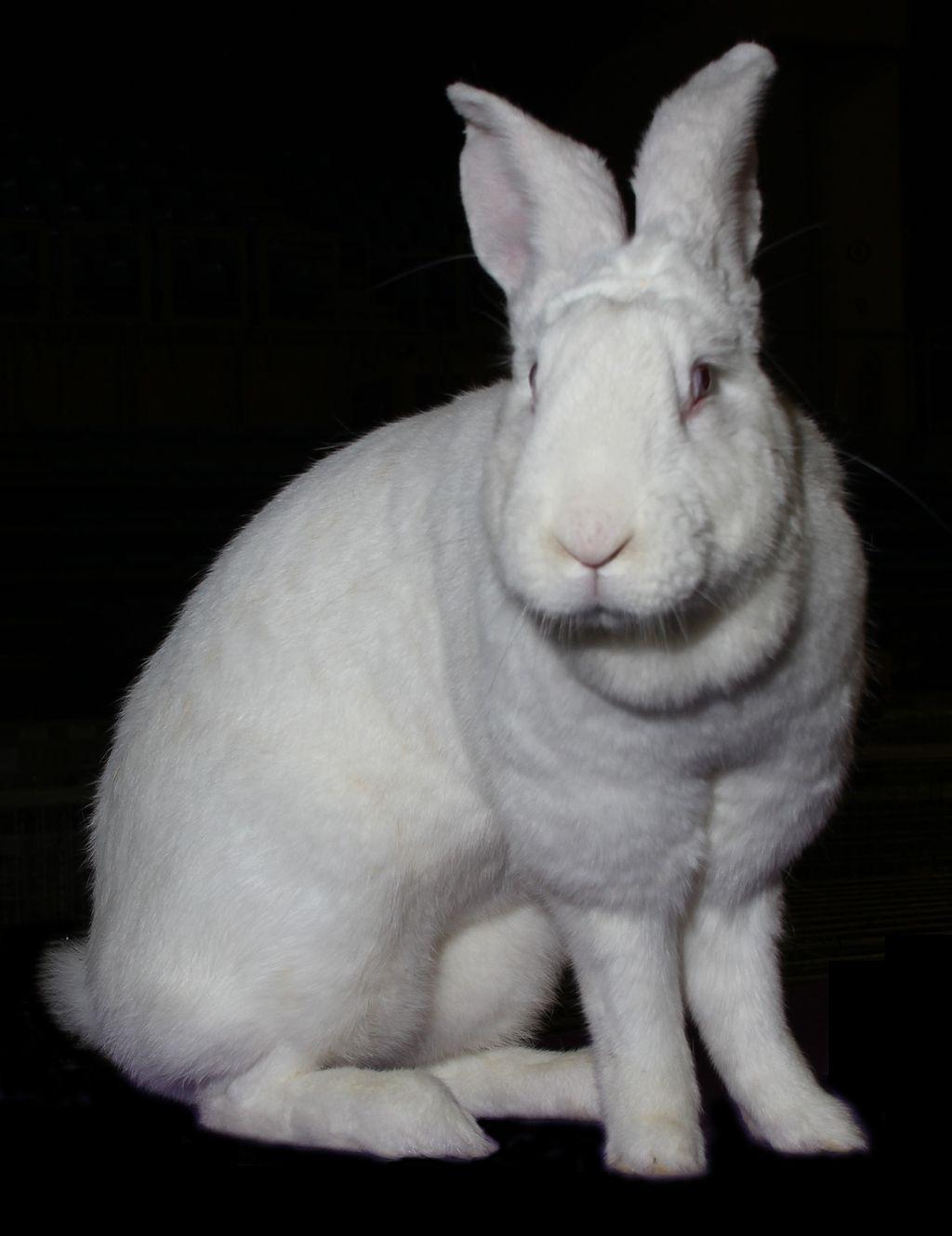 Blanc du Bouscat Rabbit