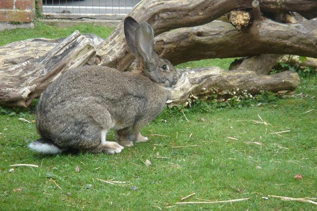 British Giant Rabbit