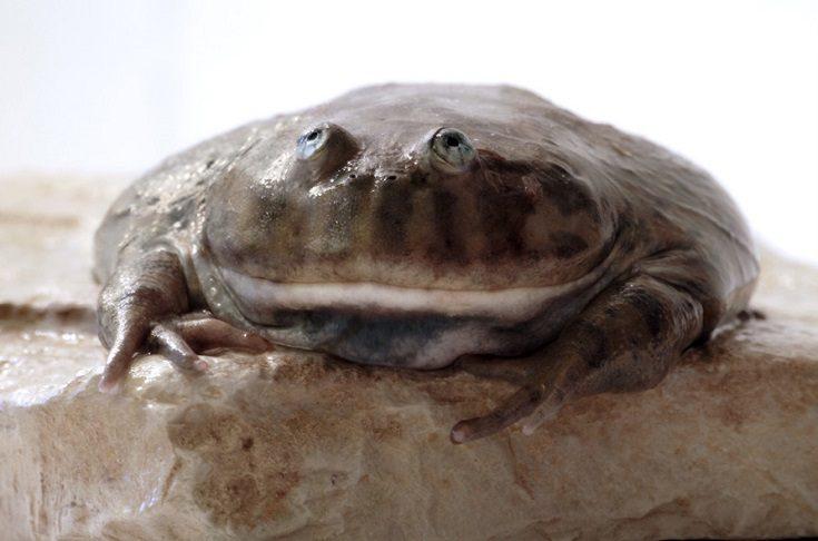 Budgett Frog