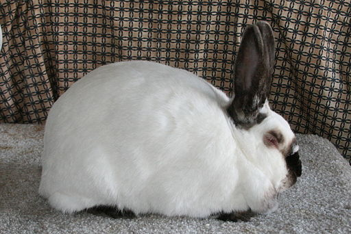 Californian Rabbit