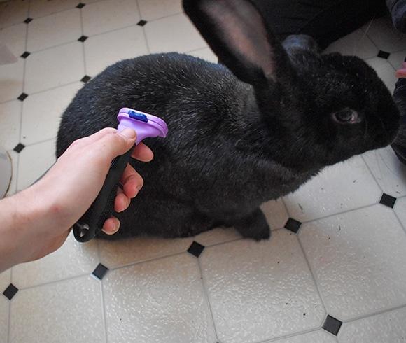 Comb Rabbit