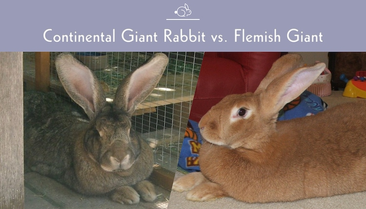 Continental Giant Rabbit Vs Flemish Giant What S The Difference Pet Keen
