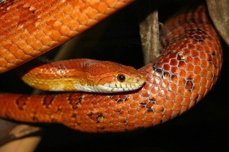 Corn Snake - Pantherophis guttata