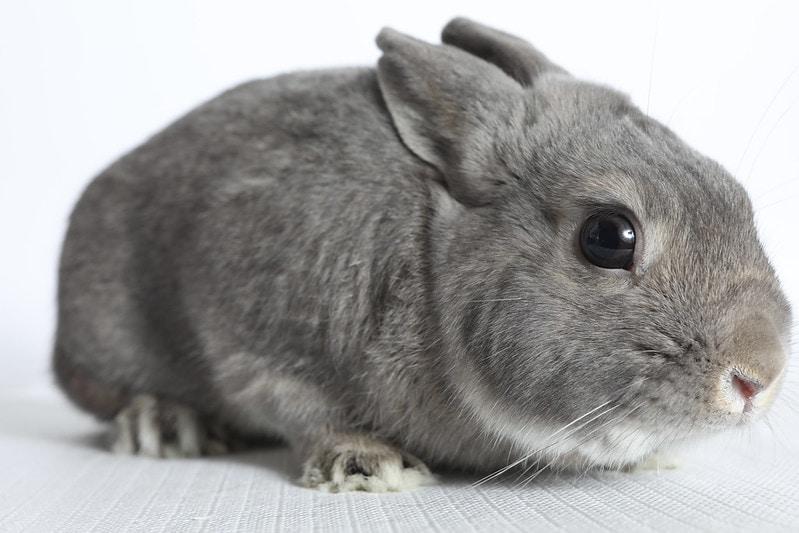 Dutch Dwarf Rabbit