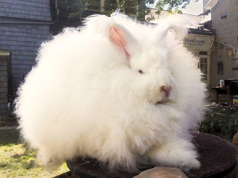 Funny rabbit picture English Angora
