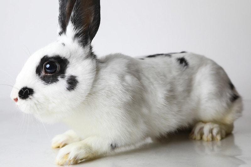 English Spot Rabbit