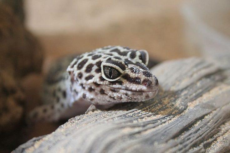 Frog Eyed Geckos