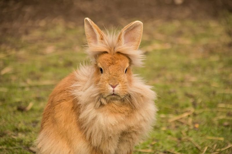Funny rabbit picture lion hair