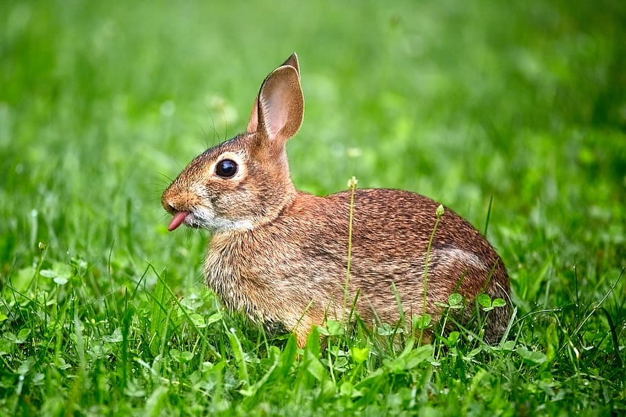 Funny rabbit memes tongue out