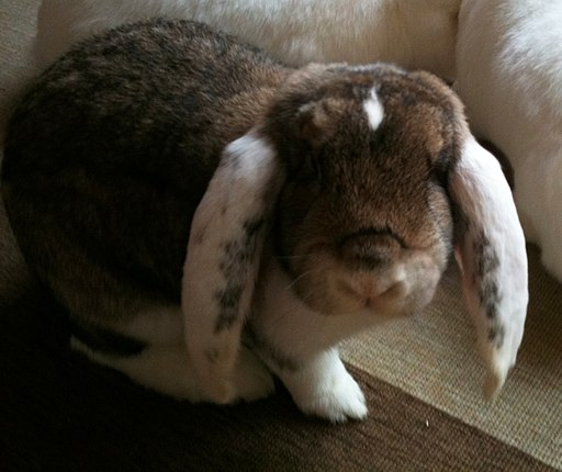 German Big Lop