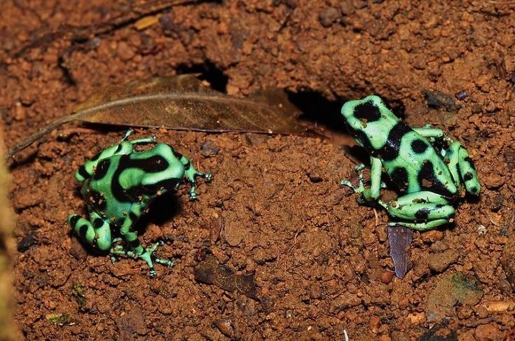 Green and Black Dart Frog