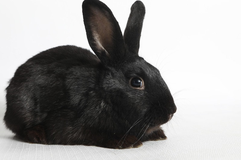Black Havana Rabbit