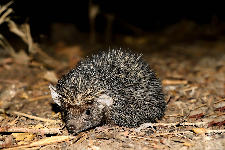 Indian long-eared hedgehog