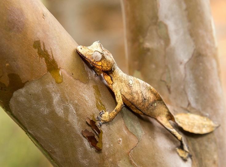 Lined Leaf Tailed Gecko_shutterstock_Anna Veselova