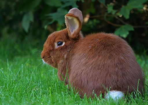 New Zealand Rabbit