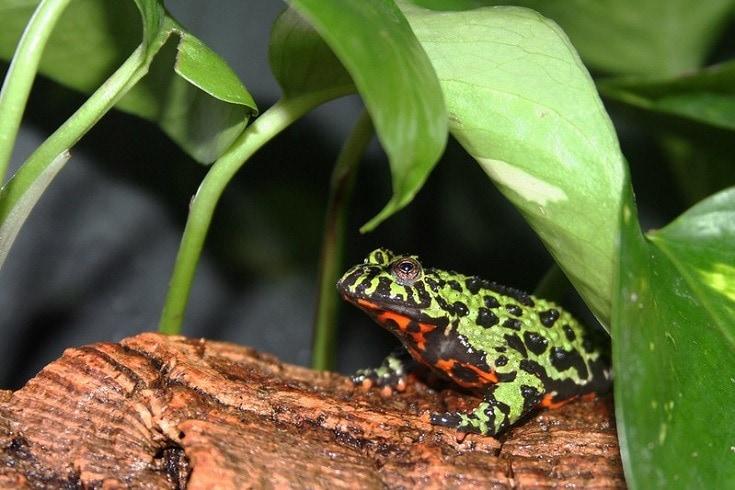 Oriental Fire Bellied Frog