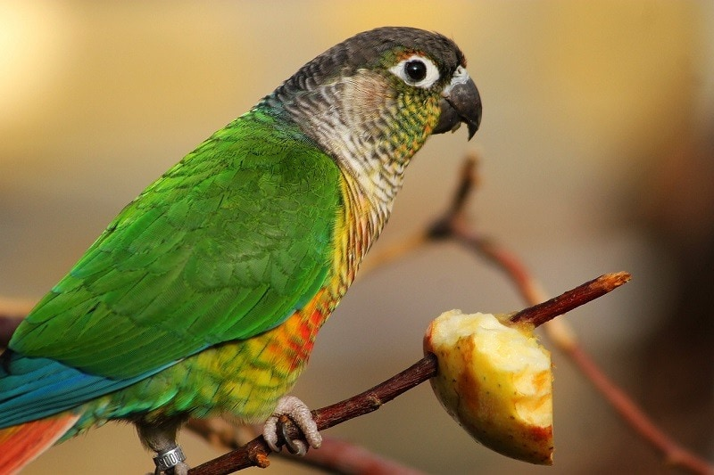 Parrot Eating Fruits
