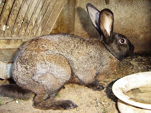 Pointed Beveren Rabbit