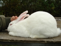 Rabbit American White