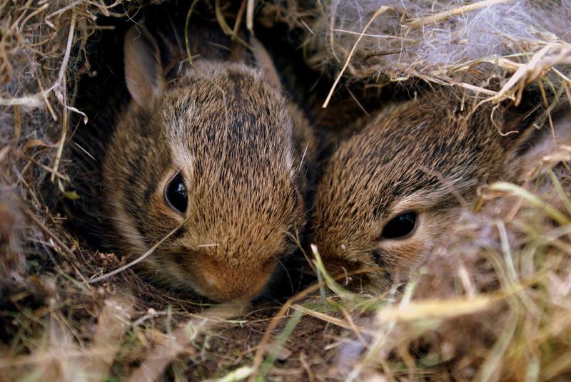 Rabbit babies in nest
