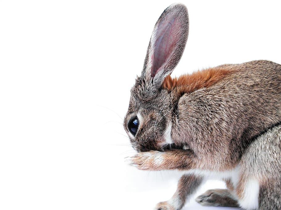 Rabbit grooming feet