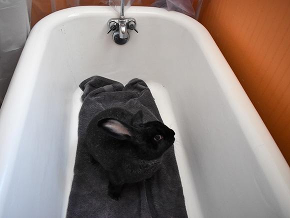 Rabbit in Tub